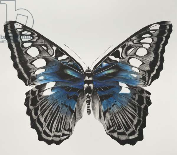 Butterfly blue original, 2015, (charcoal and pastel on paper)