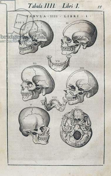 Human skulls, from 'Anatomia Corporis Humani' (engraving)