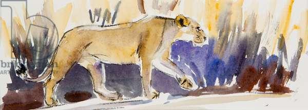 Lioness sketch, 2014, (watercolour)