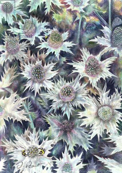 Thistles, 2008, (colour pencil)