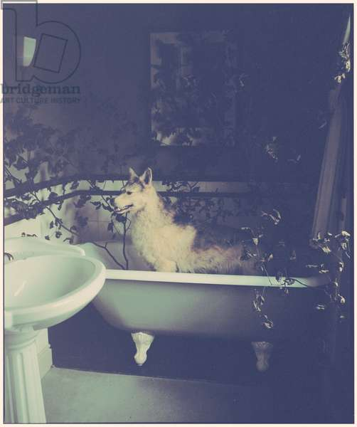 Wolf in the Bath, 2014, (photography)