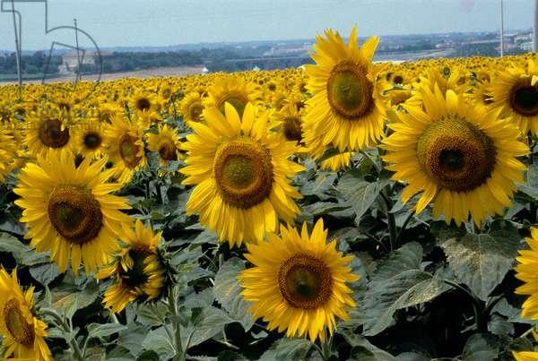 A sunflower field in upper Lazio