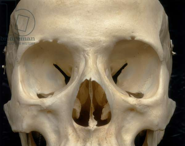 Skull of an adult. Frontal view. Detail of the orbital and nasal cavities. Anatomical exhibit housed at the Università degli Studi di Firenze, Department of Anatomy, Histology, Legal Medicine, Anatomy Section