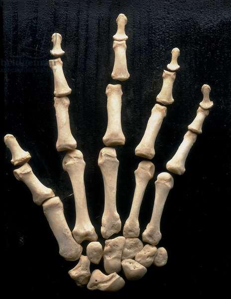 Right hand. Anatomical exhibit housed at the Università degli Studi di Firenze, Department of Anatomy, Histology, Legal Medicine, Anatomy Section