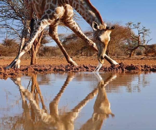 Narcissus (drinking giraffe), (photograph), 2019