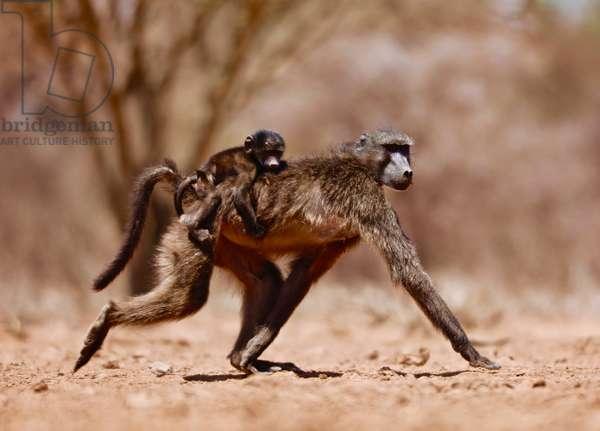 Jockey (baboon), 2019, (photograph)