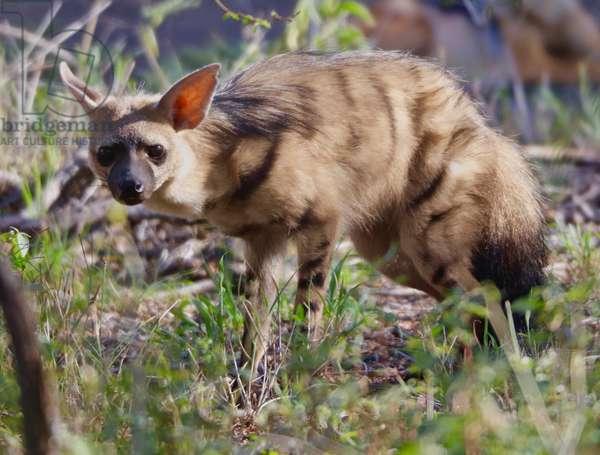 Aardwolf, Kenya, 2018, photograph