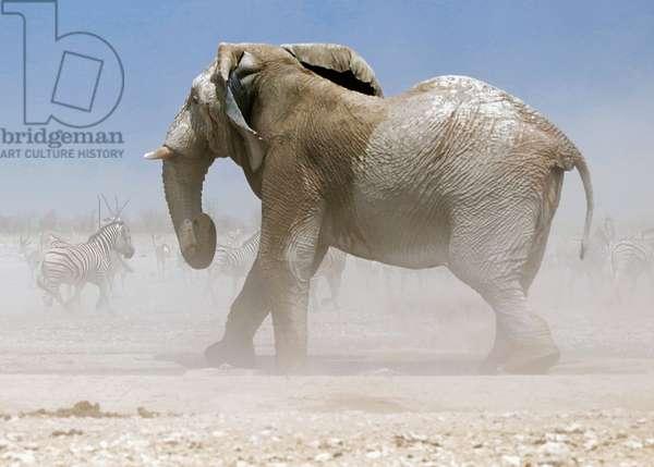 Bull Elephant, Etosha, 2018, (photograph)