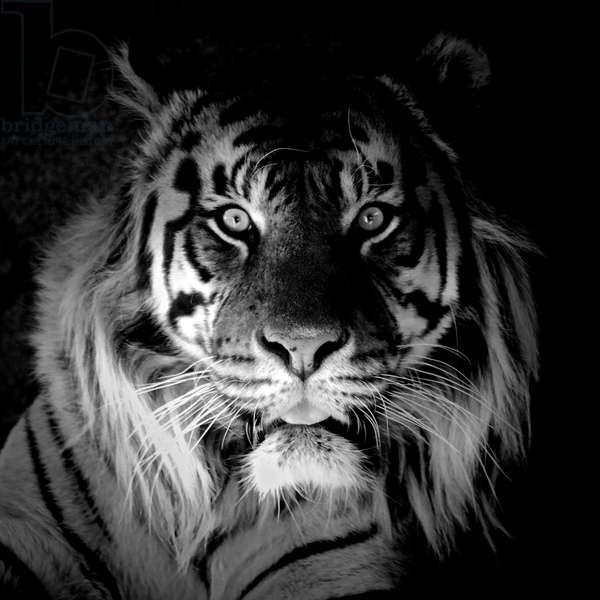 Tiger, 2017, (photograph)