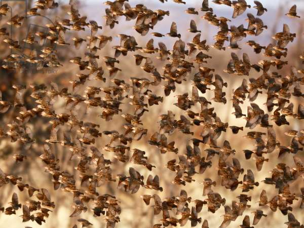 Safety in Numbers (red-billed quelea), Namibia, 2018 (photograph)