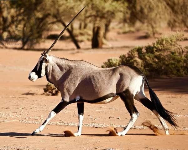 Oryx, Namib Desert, 2017, (photograph)
