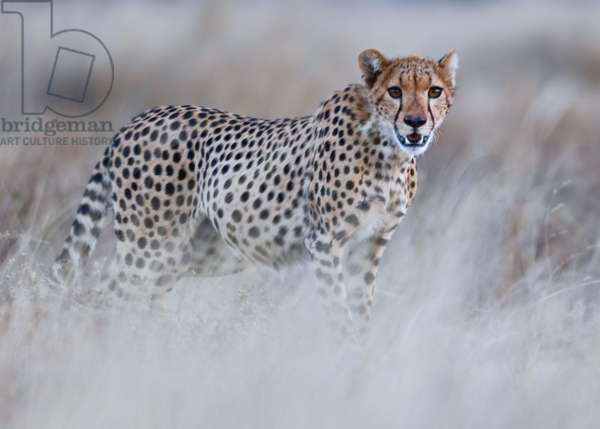 Chyulu cheetah, 2019 (photograph)