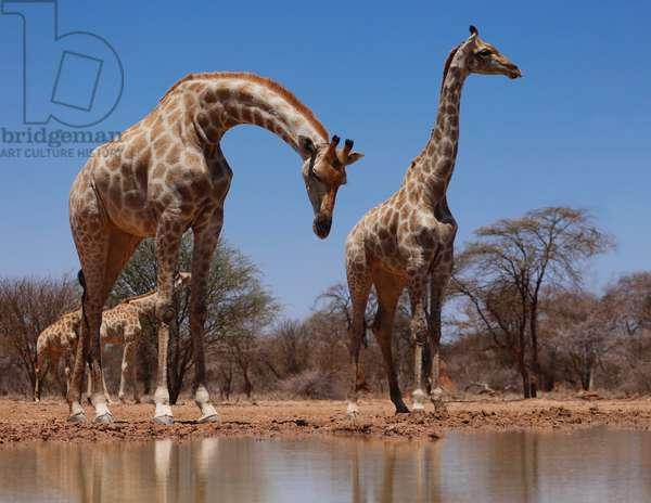 Southern Giraffes, 2019, (photograph)