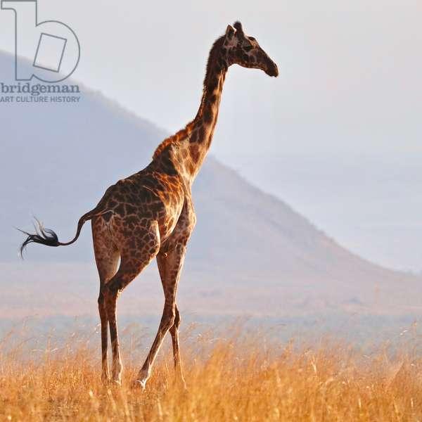 Masai Giraffe, Chyulu Hills, 2017, (photograph)
