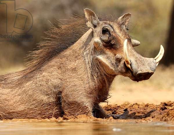 Warthog, Mount Etjo Namibia, 2018 (photograph)