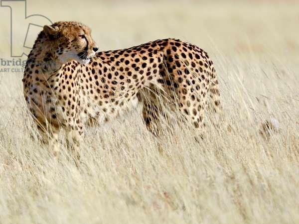 Cheetah, Etosha, 2017, (photograph)