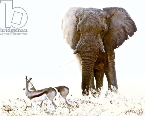 Bull Elephant and Springbok, Etosha, 2017 (photograph)