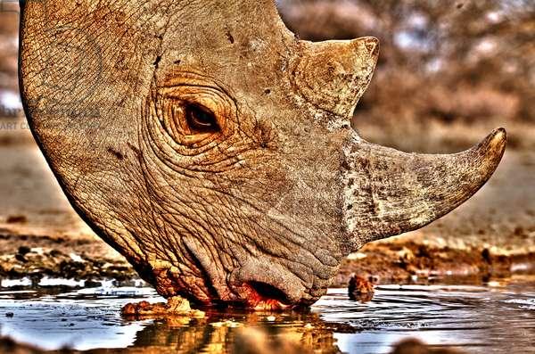 Black Rhino drinking, 2018 (photograph)