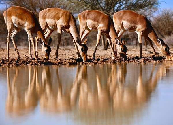 Impala drinking, 2019, (photograph)