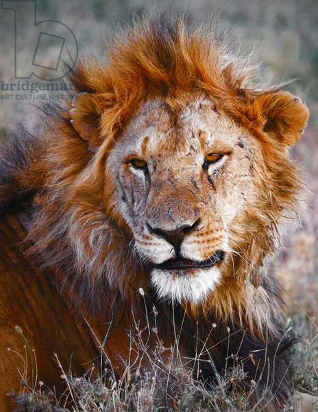 Lion, Ol Pejeta, 2017, (photograph)
