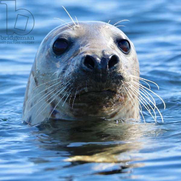 Young Grey Seal, Westcove, (photograph)