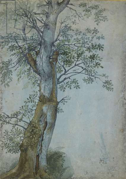 Study of a Tree, 1597-99 (pen in dark brown ink, brush in w/c & bodycolour, heightened with white on blue paper)