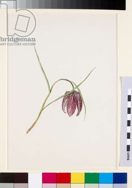 Snake's Fritillary, before June 1871 (watercolour and bodycolour over graphite on wove paper)