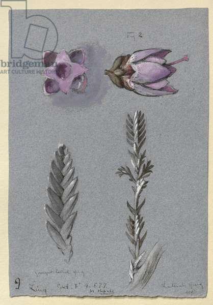 Four Studies of Ling, probably 14 September 1869 (watercolour, bodycolour, and pen and ink over graphite on blue wove paper)