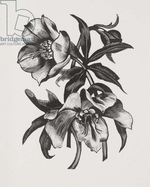 Christmas Rose (wood engraving)