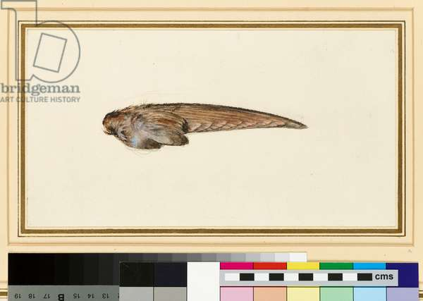Study of a Swallow's Wing (watercolour and bodycolour over graphite on wove paper)