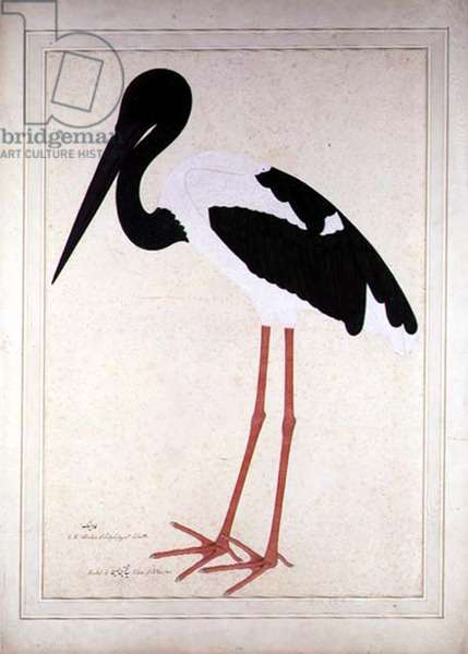 Blacknecked Stork, Xenorhynchus Asiaticus, painted for Lady Impey at Calcutta, 1781 (gouache on paper)
