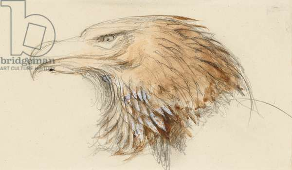 The Head of a common Golden Eagle, from Life, 8-11 September 1870 (w/c and bodycolour over graphite on wove paper)