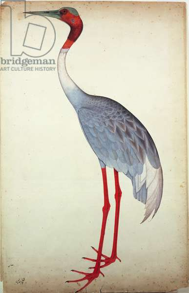 Sarus Crane, painted for Lady Impey at Calcutta, c.1780 (gouache on paper)