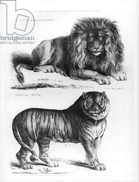 Hector the Lion and Harry the Tiger in the Tower Menagerie (engraving)