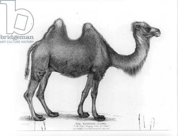 A Bactrian Camel in the Tower Menagerie, c.1830 (engraving)