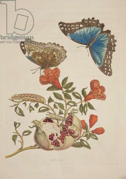 Plate IX from 'Metamorphosis Insectorum Surinamensium' by Maria Sibylla Merian, 1705 (coloured engraving)