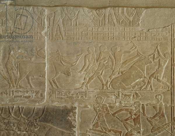 Ancient Egypt: Fight with young bulls, Saqqara Mastaba of Mereruka.