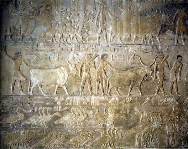 Livestock supply - Saqqara (Sakkara), Mastaba de Ptahotep