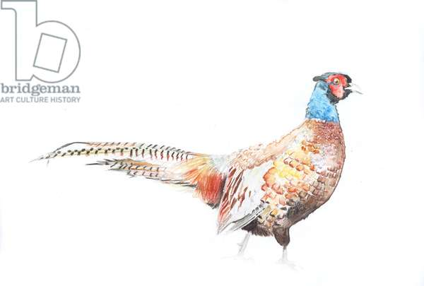 Pheasant, 2018 (watercolour on paper)