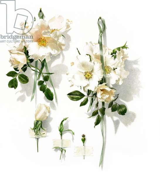 White Star- climbing roses
