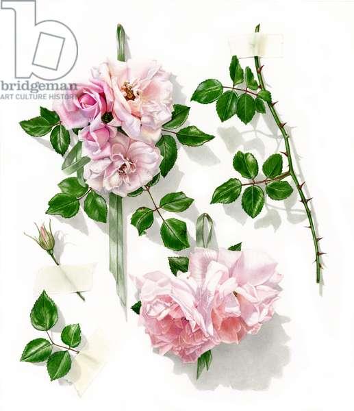 New Dawn- climbing rose