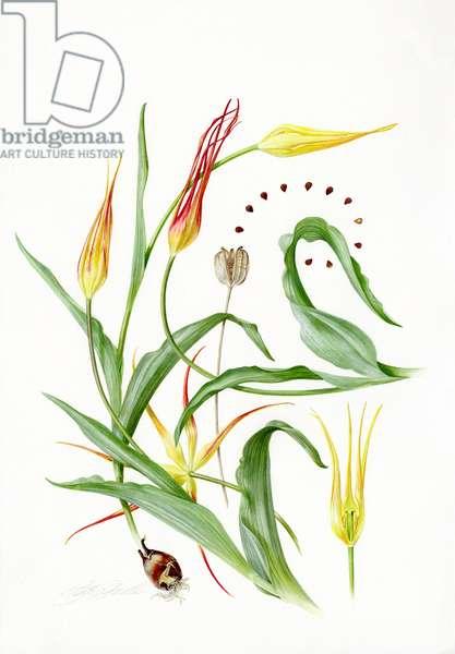Tulipa acuminata -Spider tulip