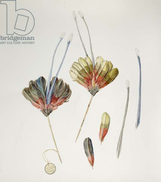 New Guinea Feather Stick, 2004, watercolour and ink
