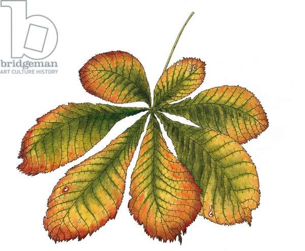 Horse Chestnut leaf, 2013, (coloured pencil)