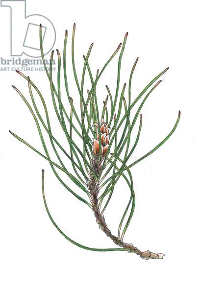 Pine Spray 1, 2013, (coloured pencil)