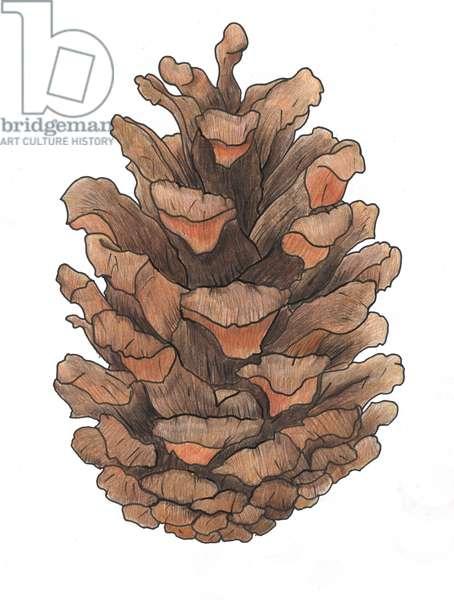 Pine Cone Study, 2013, (coloured pencil)