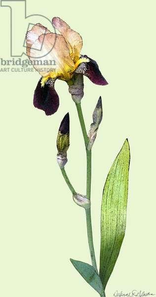 Purple Iris, 2012, (mixed media/digital)