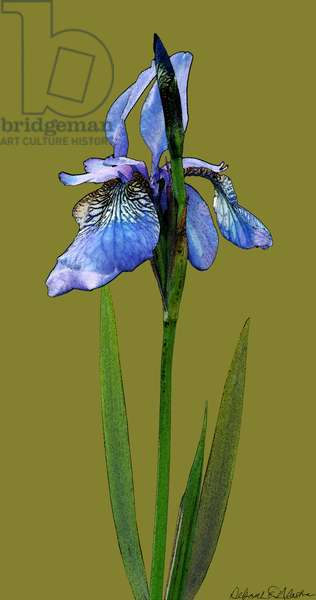 Blue Iris, 2012, (mixed media/digital)