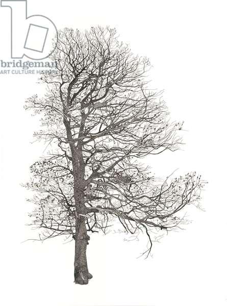 Lostwithiel Tree 4 (pen & ink on paper)