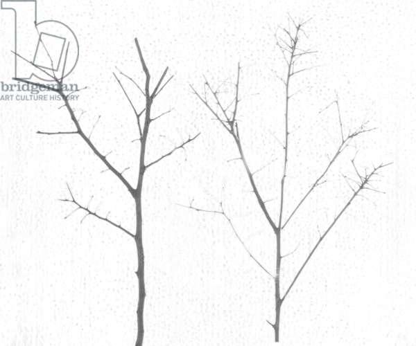 territori innevati - due alberi giorno (b) -2012, photographic contamination